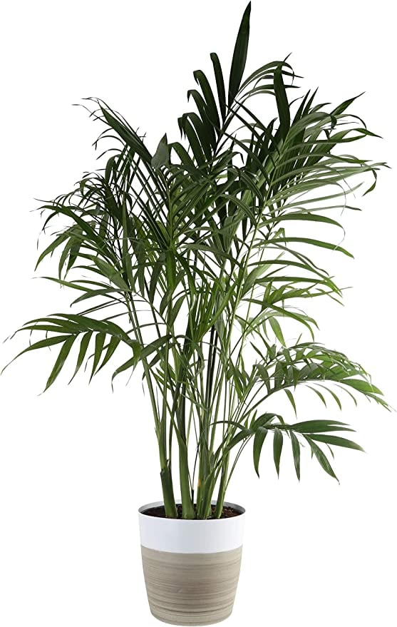 Live Indoor Palm Tree